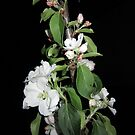 Apple blossom at night by Eleanor11