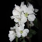 Apple blossom at night (4) by Eleanor11