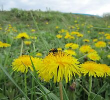 Bee on dandelion (2) by Eleanor11