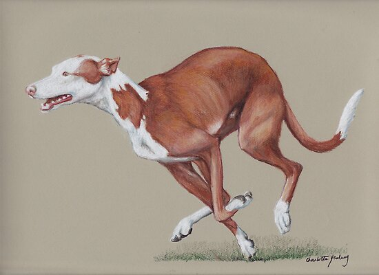 Ibizan Hound running by Charlotte Yealey
