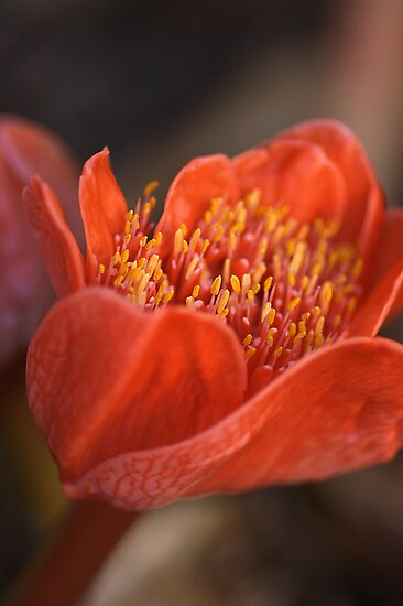 Paintbrush Lily by Joy Watson