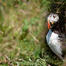 Puffin by Philip Mack