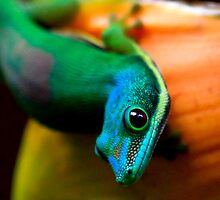 View 3 of  Day gecko ( Phelsuma Lineata )  - antasibe  Madagascar by john  Lenagan