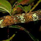 view 2 - Leaf tailed Gecko ( Uroplatus Henkeli ) Antasibe Madagascar by john  Lenagan