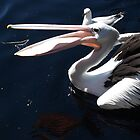 Catching Fish the Pelican Way by kalaryder