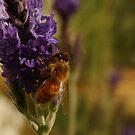 Beautiful Bee on Sidone Lavender by Gabrielle  Lees
