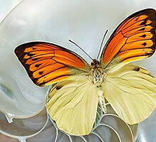 Butterfly_ Hebomoia leucippe by Paul Eekhoff