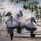 Baby swan lake by Javimage