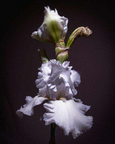 White Iris #2 by G. Patrick Colvin