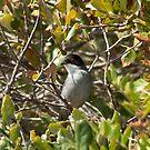 sardinian warbler by Steve Shand