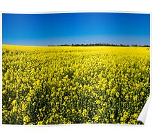 Rapeseed (Brassica Napus) Poster