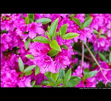 Rhododendron - Hinode Giri - Upper Brookville, New York by © Sophie Smith