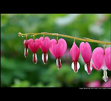 Lamprocapnos Spectabilis - Common Bleeding Heart - Upper Brookville, New York by © Sophie W. Smith