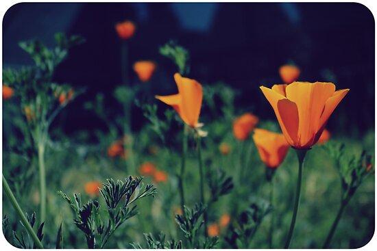 California Poppies by Jenn Ramirez