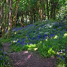 Bluebells In The Wood by lynn carter