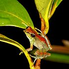 Tree frog  - Guibemantis liber -  Andasibe Madagascar by john  Lenagan
