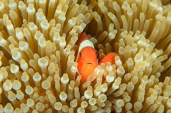 Spine-cheeked Anemonefish - Premnas biaculeatus by Andrew Trevor-Jones