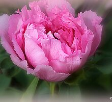 MuDan,牡丹 (Tree Peony) by naturelover