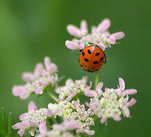 Ladybug II by loiteke