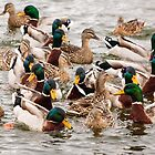 Mallard Gathering in Michigan Center by Robert Kelch, M.D.