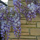 Wisteria by Barbara Wyeth