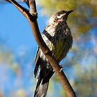 Young Red Wattlebird by Sandra Chung