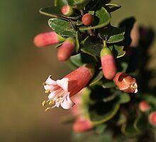 Australian Fuchsia by Joy Watson
