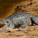 Fresh Water Crocodile by Mark Ingram