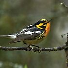 Blackburnian Warbler, nemisis no more by Wayne Wood