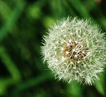 Dandelion Seed Head by Chris Day