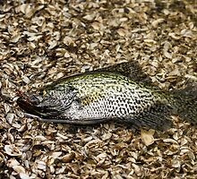 Crappie 1 by Thomas Young