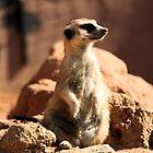 Curious Meerkat by Robert Phelps