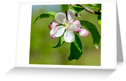 Buy apple e greeting cards - Apple Blossom Greeting Cards & Postcards