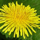 The Dandelion Macro by AH64D