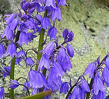 Bluebells by Fara