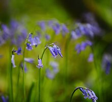 Vibrant Bluebells  by Stephen J  Dowdell