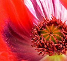 Poppy In Memoriam by paintingsheep
