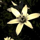 Star of Bethlehem by PBPhoto
