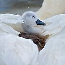 Cygnet transport by Jacky Parker