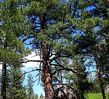 Tree thru the rocks,Peavine Mountain,Reno Nevada USA by Anthony & Nancy  Leake