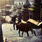 Pashupatinath Cow by Jamie Mitchell