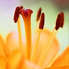 Lily In Macro by Chet  King