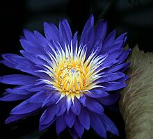 Blue Waterlilly by Paul Dean