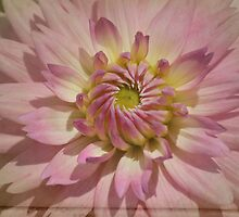 Dahlia on Parchment dramatic pink close up.  Photograph. by Kerry McQuaid