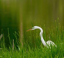 The Great Egret 3 by Thomas Young