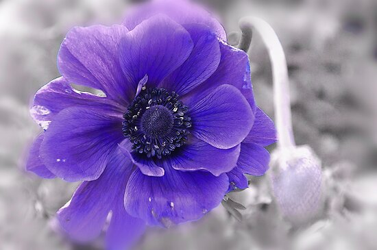Anemone Dream... by Poete100