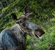 Male Moose  by Greg Boan