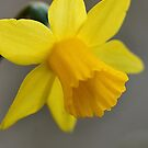 Narcissus by flashcompact
