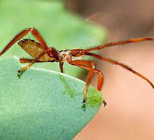 Immature Assassin Bug by Otto Danby II