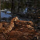 Florida Cottonmouth by Michael L Dye